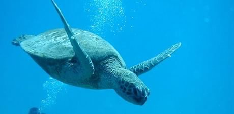 https://pacificislandscuba.com/wp-content/uploads/2014/02/tour_summary_honu03.jpg